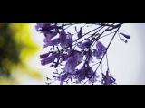 Цветение Жакаранды